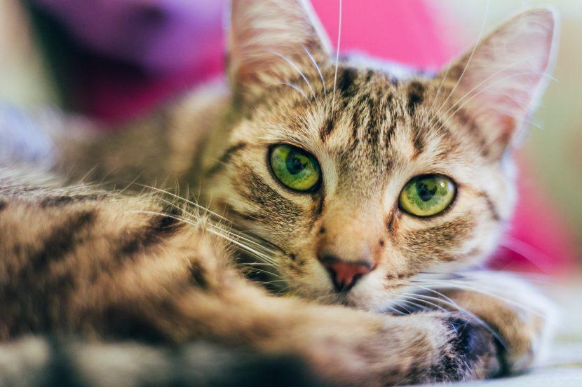 translation cat